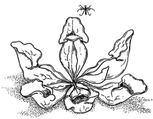 PitcherPlant-320X250