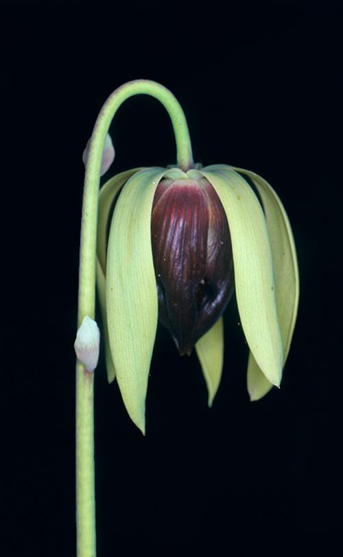 Darlingtonia californica (Oregon coast) - a close relative of Sarracenia